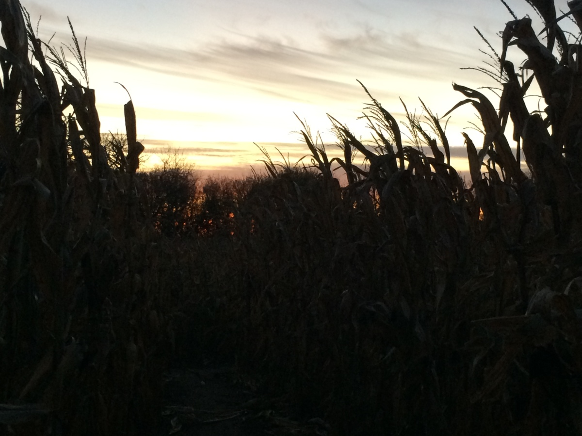 corn maze photography